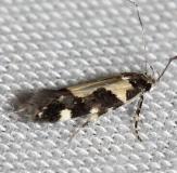 2209 Red-necked Peanutworn Moth yard 7-23-12