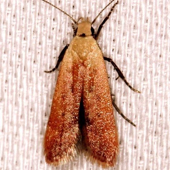 2236 Anacampsis fullonella NABA Gardens Texas 11-3-13