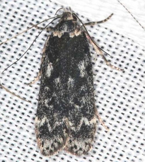 2243 Pale-headed Aspen Leafroller Moth Lake of the Woods Moth BG Ontario 7-23-16