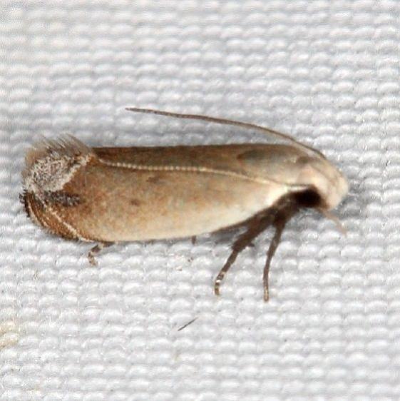 2245 Anacampsis paltodoriella Falcon St Pk Texas 10-28-16 (2)_opt