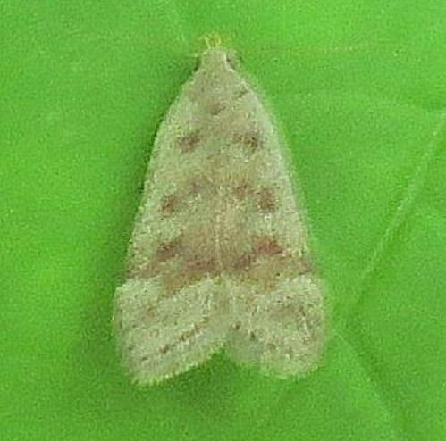 2246 Sallow Leaftier Moth Ora Anderson Oh 6-3-13