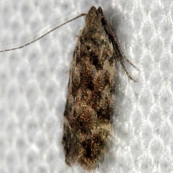 2251.96 Anacampsis Moth New Species Lake Kissimme St Pk Fl 2-27-13_opt