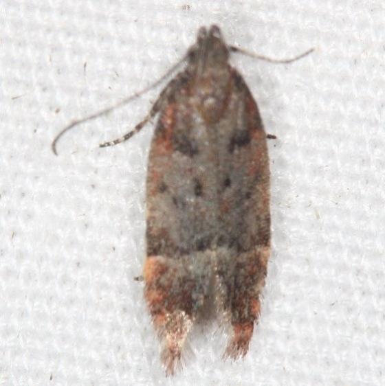 2251.96 Unidentified Anacampsis Moth Campsite 119 Falcon St Pk Texas 10-27-16_opt