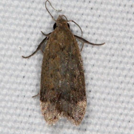 2251.96 Unidentified Anacampsis Moth Campsite 119 Falcon St Pk Texas BG 10-23-16_opt