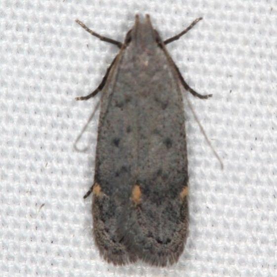 2251.96 Unidentified Anacampsis Moth Campsite 119 Falcon St Pk Texas BG 10-27-16_opt