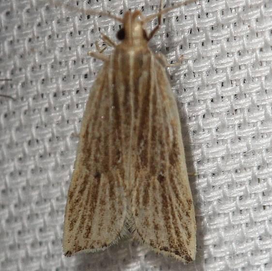 2268 Lanceolate Helcystogramma Moth yard 6-4-12