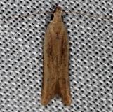 2272 Soybean Webworm Moth Collier Seminole St Pk 2-26-14