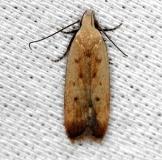 2272 Soybean Webworm moth NABA Gardens Mission Texas 11-4-13