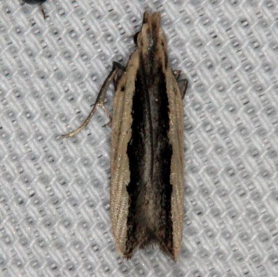 2281 Palmerwood Moth Lucky Hammock Everglades 2-23-14
