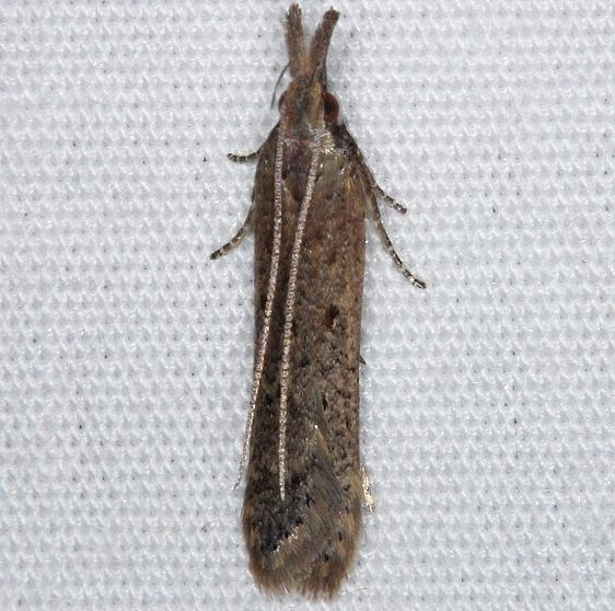 2281 Palmerworm Moth Burr Oak St Pk at cabins Oh 6-27-14