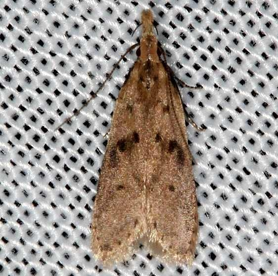 2288 Many-spotted Dichomeris Moth Rodman Campground Fl 3-20-14