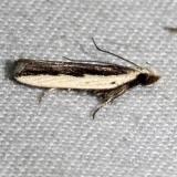 2297.1 Dichomeris pelta Kissimmee Prairie St Pk 3-17-13