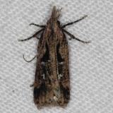 2302.4 Dichomeris aglaia Silver Lake Cypress Glenn Fl 3-16-15