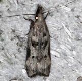 2310 Dichomeris Species Grp Mahogony Hammock 2-18-14