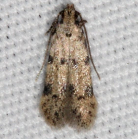 2311.99 BG Unidentified Gelechiid Moth Johathan Dickinson St Pk Fl 3-8-17_opt