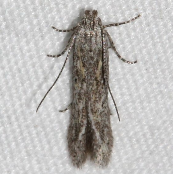 2311.99 Unidentifed Gelechiid Moth BG Mueller St Pk Colorado 6-19-17 (37)_opt