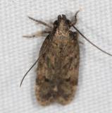 2311.99 Unidentified Gelechiid Moth BG Campsite 119 Falcon St Pk Texas 10-25-16 (8)_opt