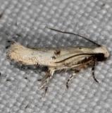 2311.99 Unidentified Gelechiid Moth BG Campsite 119 Falcon St Pk Texas 10-25-16_opt