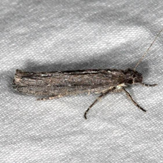 2311.99 Unidentified Gelechiid Moth BG Pine Lake campground Dixie Natl Forest Utah 6-2-17 (10)_opt