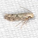 2311.99 Unidentified Gelechiid Moth Campsite 119 Falcon St Pk BG 10-22-16 (1)_opt