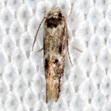 2311.99 Unidentified Gelechiid Moth Highland Hammock St Pk 3-5-14 (4)_opt
