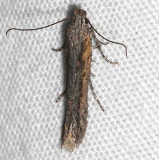 2311.99 Unidentified Gelechiid Moth1 BG Golden Gate St Pk Colorado 6-26-17 (29)_opt