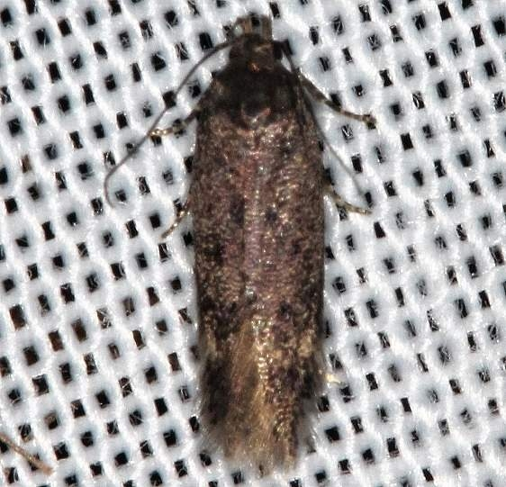 2311.99 Unidentified Gelechiid Moth Lake of the Woods Ontario 7-21-16 (7)_opt