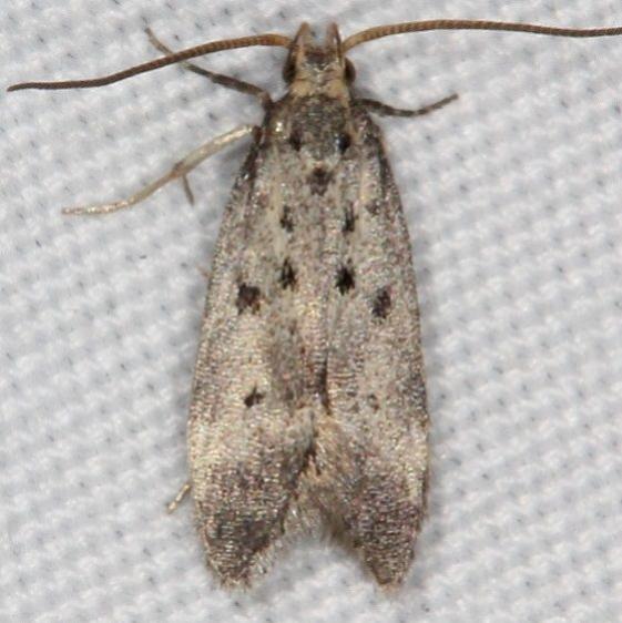 1716 Monochroa quinquepunctella Moth Campsite 119 Falcon St Pk Texas BG 10-25-16_opt
