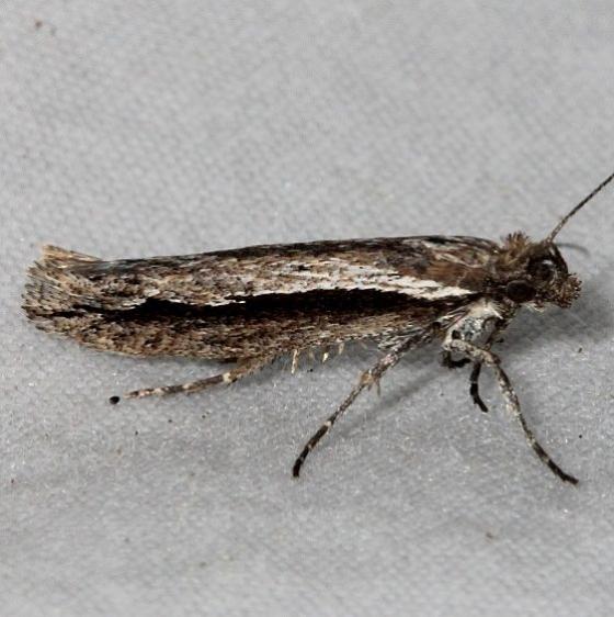 2381 Ypsolopha flavistrigella Mueller St Pk Colorado 6-20-17 (56)_opt