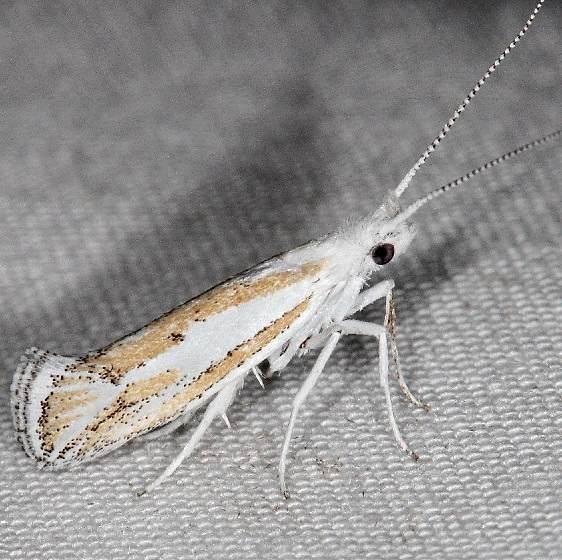 2397.97 Unidentified Ypsolopha Moth BG campsite 119 Falcon St Pk Texas 10-26-16 (1)