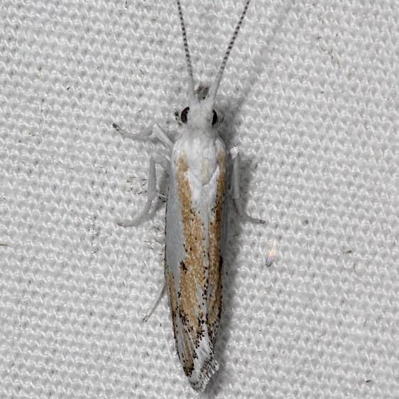 2397.97 Unidentified Ypsolopha Moth BG campsite 119 Falcon St Pk Texas 10-26-16 (2)