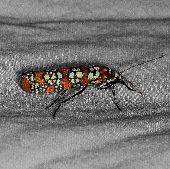 2401 Ailanthus Webworm Moth Huffman Prairie WPAFB Dayton Oh 7-27-14