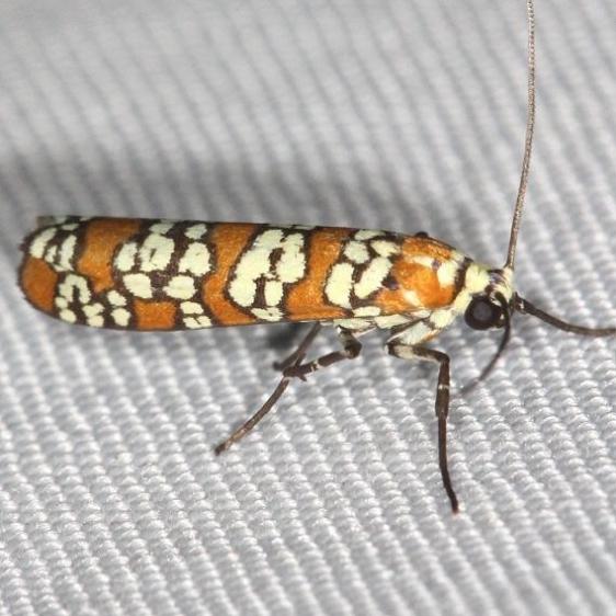 2401 Ailanthus Webworm Moth yard 5-29-13