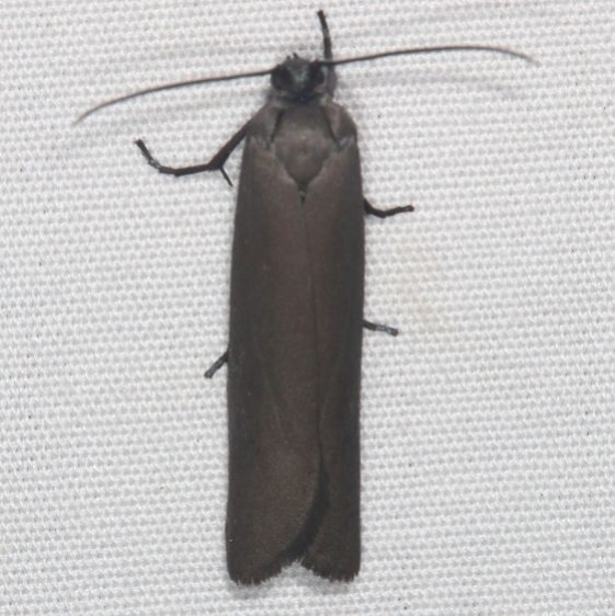 2415 Bumelia Webworm Moth Favre Dykes State Park Fl 2-18-17_opt