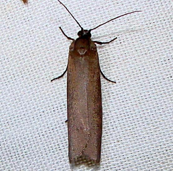 2415 Bumelia Webworm Moth Payne's Prairie St Pk 3-22-12