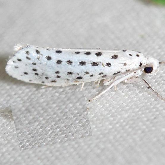 2420 American Ermine Moth yard 6-11-12