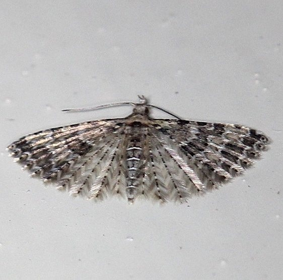 2313 Six-plume Moth Cherry Tree Inn Victoria BC 8-17-14