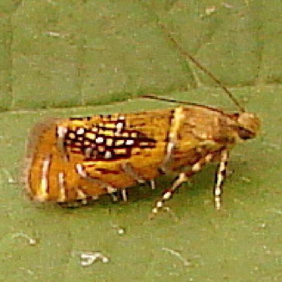 2338 Glyphipterix quadragintapunctata Glenn Helen field at covered bridge Oh 6-6-12
