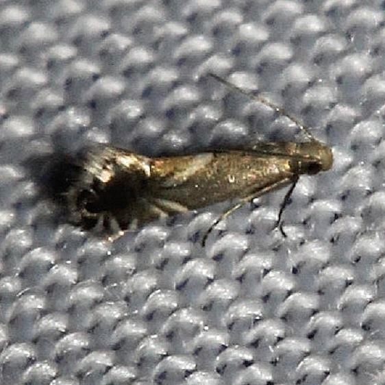 2341 Haworth's Glyphipterid Moth Kissimmee Prairie St Pk 3-17-13