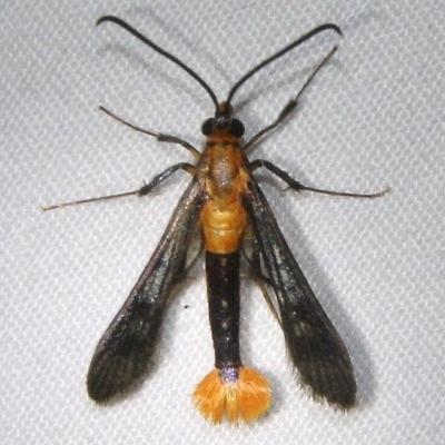 2554 Maple Callus Borer Moth Ocean Pond Osceolo Natl Frst 3-25-15
