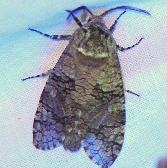2694 Little Carpenter Moth Adams Co at Challet Oh 5-17-08