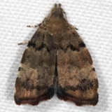 2650 Apple Leaf Skeletonizer Moth yard 10-4-16_opt