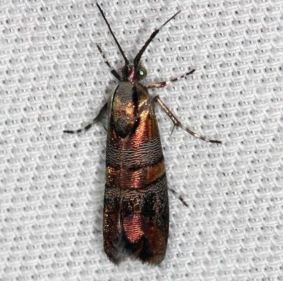 2653 Slosson's Metalmark Moth Lucky Hammock Everglades 2-23-14