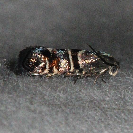 2655.99 Unidentified Choreutidae Moth Oscar Scherer St Pka 3-14-15 (20)_opt