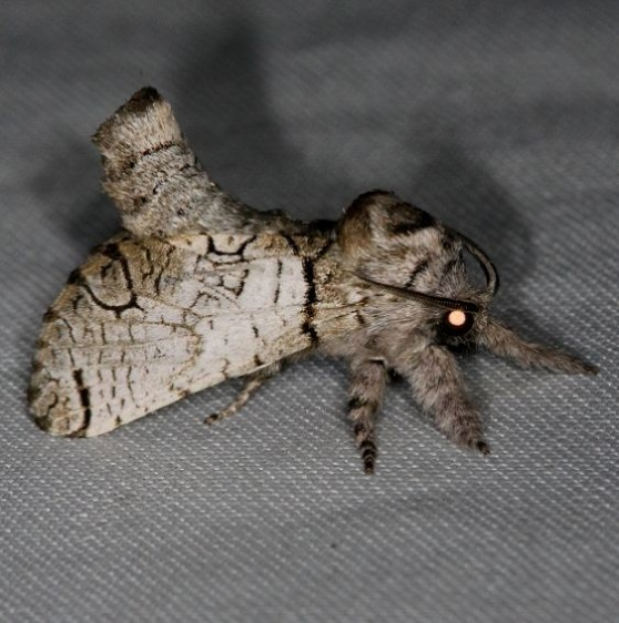 2659 Black-lined Carpenterworm Moth Inguromorpha basalis Collier Seminole St Pk 3-2-14