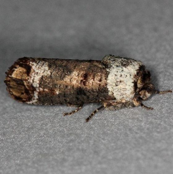 2674 Pecan Carpenterworm Moth Silver Lake Cypress Glenn Fl 3-19-15