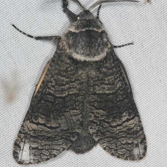 2675 Poplar Carpenterworm Moth Lake of the Woods Ash Rapids Lodge 7-16-17 (44)_opt