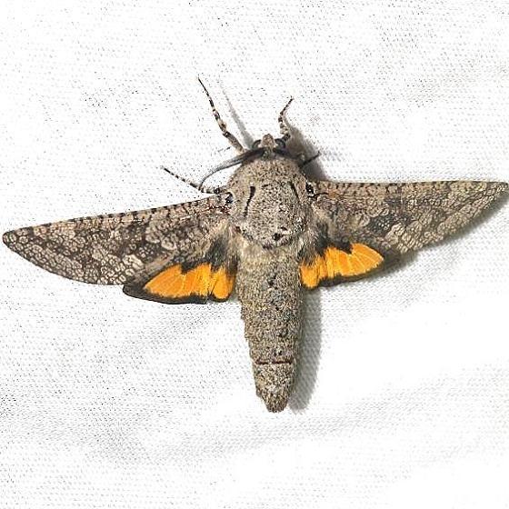 2693 Carpenterworm Moth Hidden Lake Everglades Natl Pk 3-9-13