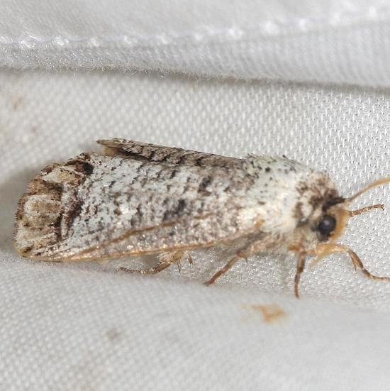 2674 Pecan Carpenterworm Moth Lake Kissimmee St Pk Fl 2-26-13