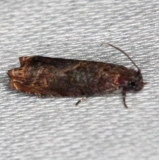 2701 Sumac Leaftier Moth Collier Seminole St Pk 2-26-14